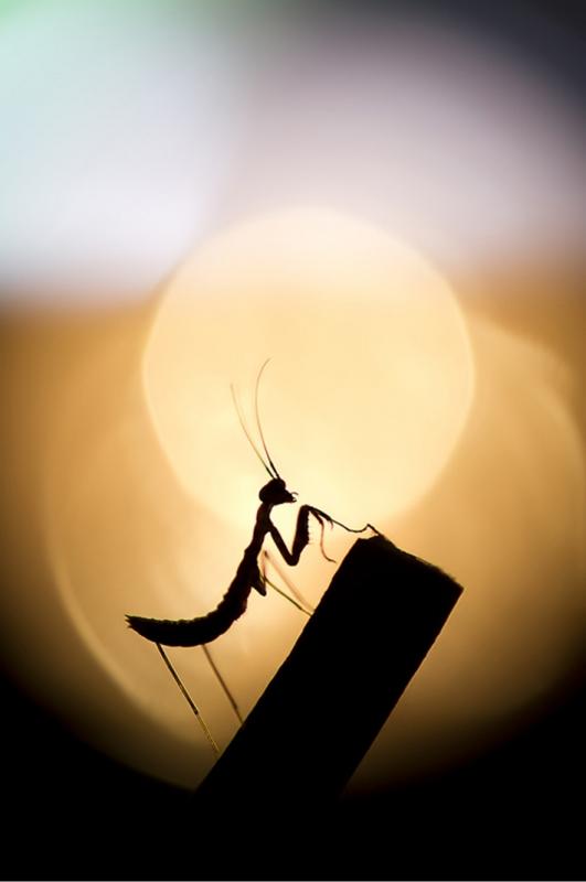 Praying Mantis, No Digital Editing