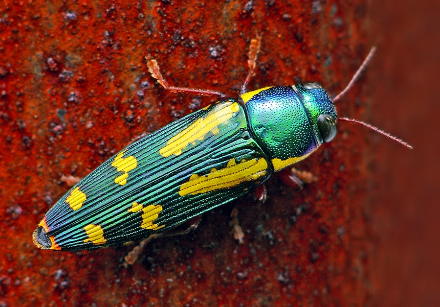Red-Legged Metallic Wood Boring Beetle