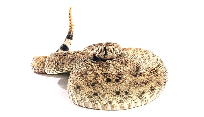 Photographing a Rattlesnake: How I Did It and Why I Won't Do It Again