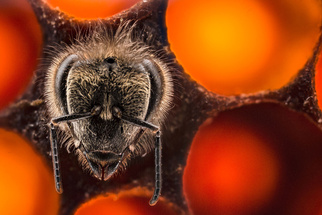 Photographer Keeps Bees to Document First 21 Days of Their Lives