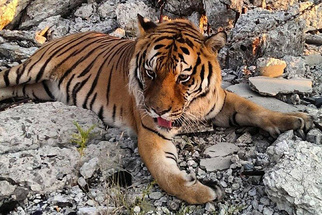 """More Insight Into The """"Escaped"""" Tiger Incident At Detroit's Packard Plant"""