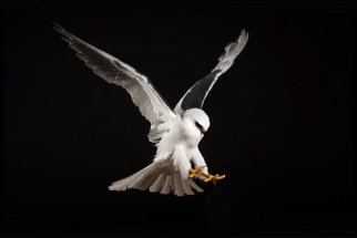 [Behind The Scenes] How To Photograph Birds of Prey In The Studio