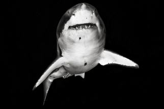 Amazing Photographs Of Sharks By Michael Muller