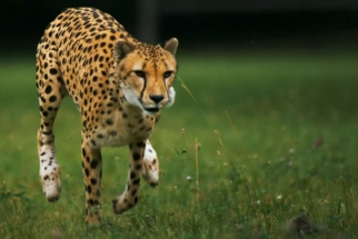 Final National Geographic Phantom Footage of Slow Motion Cheetah