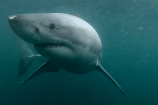 GoPro Captures Crazy Encounter with Great White Shark in Sydney Harbor