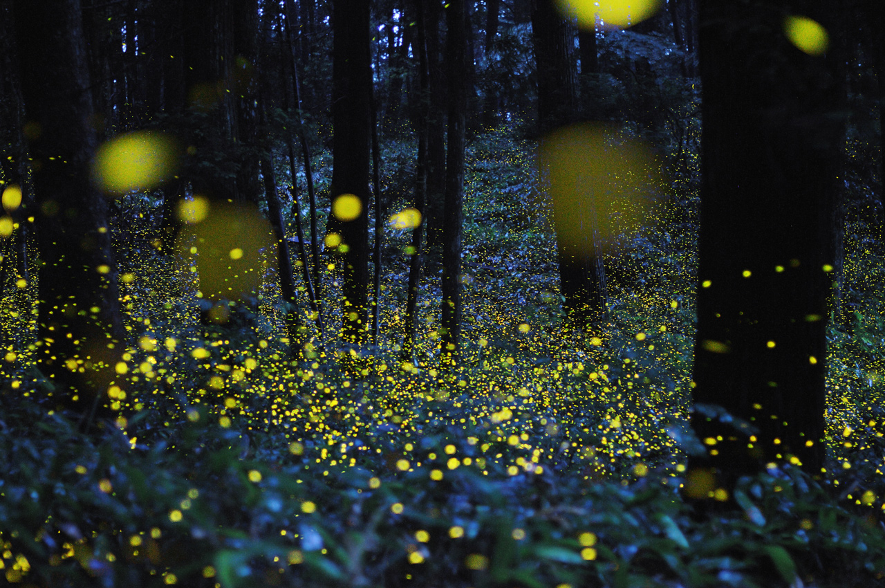 [Pics] Long Exposure Images Of Lightning Bugs In Japan : Fstoppers