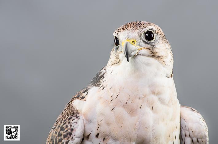 Atilla - Saker Falcon