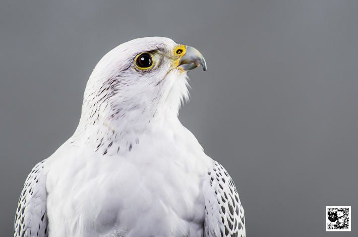 Kaeto - Gyr x Saker Falcon