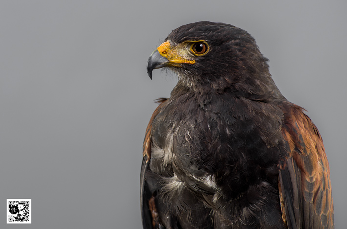 Loki - Harris Hawk
