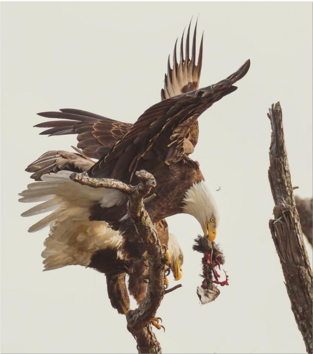 Smithsonian-photo-contest-naturalworld-bald-eagle-carnage-eating-don-holland