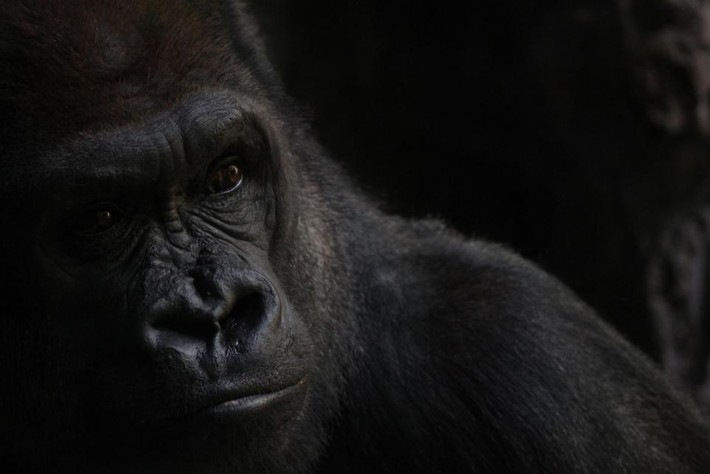 smithsonian-photo-contest-naturalworld-gorilla-portrait-vanessa-bartlett