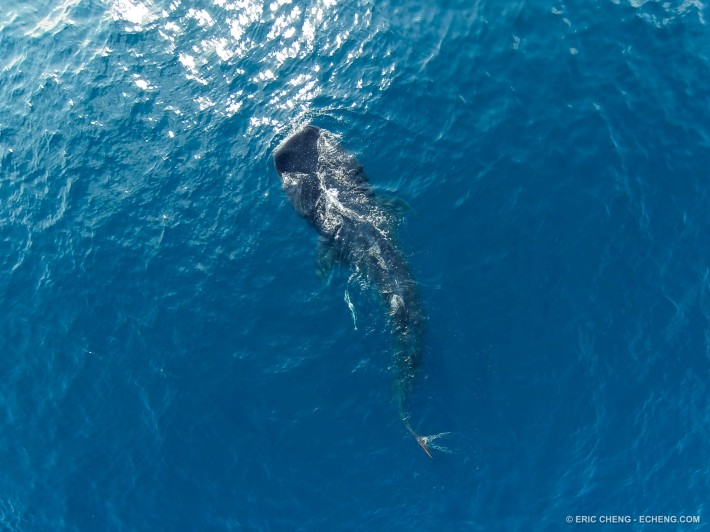Aerial image of a whale shark (Rhincodon typus), Isla Mujeres, Mexico