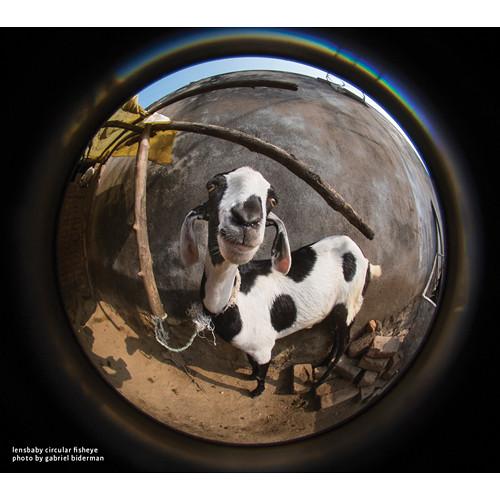 lensbaby fisheye photo by gabriel biderman goat animal